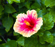 Pink and orange hibiscus flower Royalty Free Stock Photography