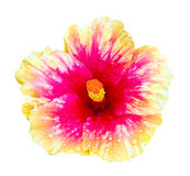 Pink and orange hibiscus flower isolated Stock Photo