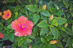 Pink orange hibiscus flowers Royalty Free Stock Images