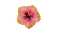 Pink/orange hibiscus isolated. A vivid pink and orange hibiscus, isolated Royalty Free Stock Photo