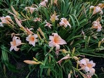 Pink and Orange Iris Flora. Flowers in the garden. Great for a background image royalty free stock images