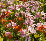 Pink and orange lilies Stock Photos