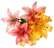 Pink and orange lilies Stock Photo