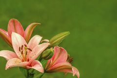 Pink orange lilies flowers on green blur background stock photo