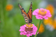Pink and Orange. Monarch butterfly on pink zinnia royalty free stock photography