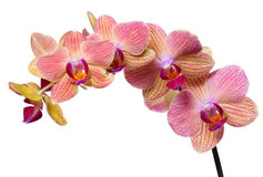 Pink and orange orchid branch on white Royalty Free Stock Image