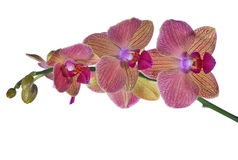 Pink and orange orchid flower branch on white Royalty Free Stock Photography