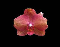 Pink orange orchid flower Royalty Free Stock Image