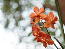 Pink orange orchids under natural lighting Royalty Free Stock Photo