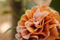 Pink and Orange Colored Flower royalty free stock image
