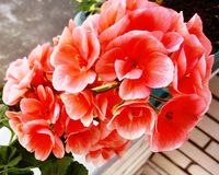 Pink orange pelargonium flower royalty free stock photos