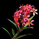 Pink and orange Plumeria Stock Images