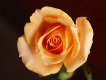 Pink or orange rose Stock Photo