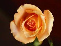 Pink or orange rose stock photo