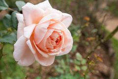 Pink and orange rose close up. In the garden royalty free stock image