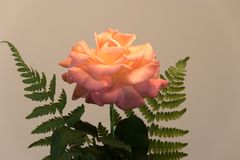 Fern around pink and orange rose Stock Photos