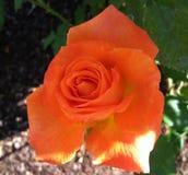 Pink orange rose flower. Background landscape plant sun flower Royalty Free Stock Image