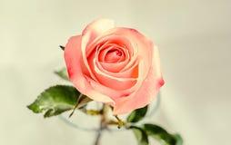 Pink orange rose flower, pattern petals, close up Stock Photo