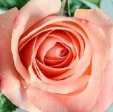 Pink orange rose flower, pattern petals, close up Royalty Free Stock Photos