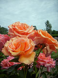 Pink and orange rose flowers Royalty Free Stock Images