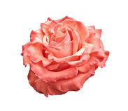 Pink and orange rose isolated on white. Background. Contains clipping path stock photo