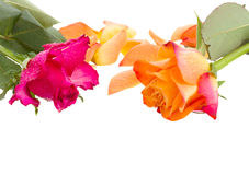 Pink and orange rose with petals Stock Photos
