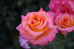 Pink and Orange Roses royalty free stock images
