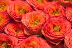 Pink and orange roses Stock Images