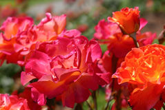 Pink and orange roses. Close up of 5 pink and orange roses in bright sunshine Royalty Free Stock Photo