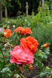 Pink and orange roses. In a wonderful garden Royalty Free Stock Photography