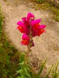 Pink and Orange Snapdragon Flower. Growing Out of a Wall Stock Images