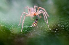 Pink and Orange Spider Near Black and Yellow Insect on a Spider Web during Daytime Royalty Free Stock Photos