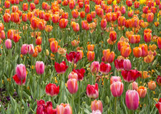 Pink and Orange Tulips stock photography