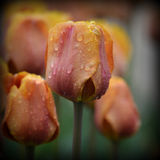 Pink Orange Tulips Raindrops Stock Photos