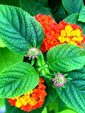 Pink, orange and yellow lantana flowers. Beautiful and delicate Lantana flowers in bloom Stock Image