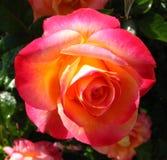 pink-orange-yellow rose Stock Photo