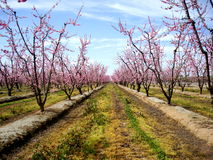 Pink Orchard Blooming stock images