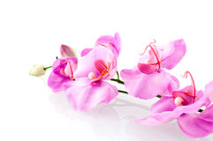 Pink orchid. Isolated on white background royalty free stock photography