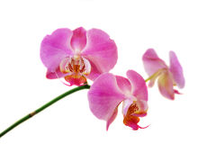 Pink orchid. S on white background Royalty Free Stock Images