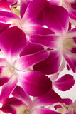 Pink orchid. Beautiful pink purple orchid background Stock Photos
