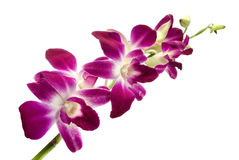 Pink orchid. Intense pink orchid flower isolated over white Royalty Free Stock Photo