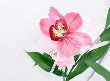 Pink orchid. Isolated on white Royalty Free Stock Photography