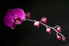 The pink orchid Stock Image