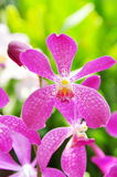 Pink Orchid. Orchidaceae, the Orchid family, is the largest family of the flowering plants (Angiospermae). Its name is derived from the genus Orchis Stock Image