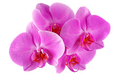 Pink Orchid. Phalaenopsis isolated on white background Royalty Free Stock Photos