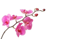 Pink orchid. Isolated on white Royalty Free Stock Photos