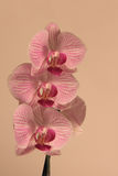Pink Orchid. A pink orchid with light ping background Royalty Free Stock Photography