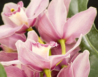 Pink orchid. Cymbidium orchid flowers with soft focus isolated on black royalty free stock photo