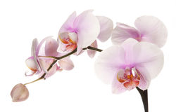 Pink orchid. Isolated on white background Stock Photo