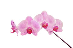 Pink orchid. Close-up of pink orchid on violet background stock images